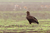 Steppe Eagle <br /> _MG_9608