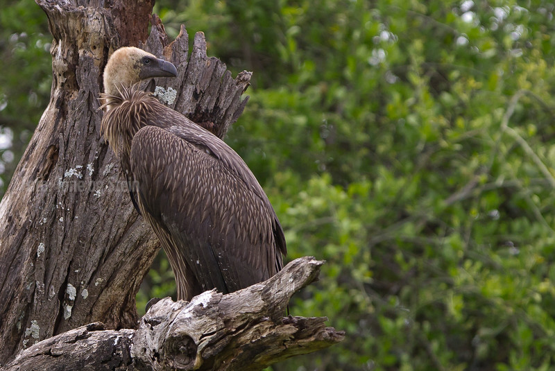 White-backed Vulture from baloon in Tarangire NP