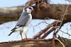 Pygmy falcon, Tarangire NP, Tanzania