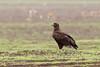 Steppe eagle, steppeørn, Ngorongoro, Tanzania