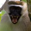 Vervet Monkey, Lazy Lagoon, Bagamoyo