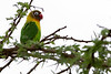 Lovebird, Arusha