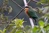 Cinnamon-breasted Bee-eater, Ngorongoro cr. Tanzania