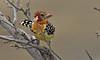 Red and yellow barbet 0118 dias<br /> Tarangire, Tanzania