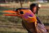 Ispidina picta (African pygmy-kingfisher, Pygmy kingfisher)