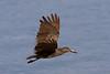 Hamerkop stork, lake nakuru, kenya