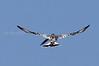 Pied Kingfisher, Nyumba ya Mungu, Moshi, Tanzania