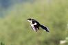 Jacobine's Cuckoo