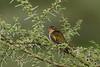 Diderick's Cuckoo female