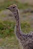 Struts<br /> Ostrich