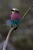 Lilac-breated Roller, Tarangire NP