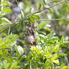 Nest of Common purplebanded sunbird