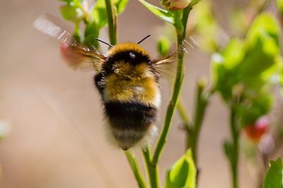 Bees Bier
