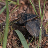Dung beetle, South Africa
