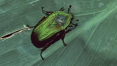 Beetles Biller