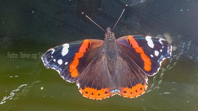 Butterflies Sommerfugler i Europa