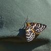 Lepidoptera, Kemi, Finland