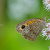 Butterflies of Scandinavia : 1 gallery with 5 photos