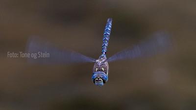 Odonata, Tarifa, Spain