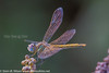 Redveined; darter; Sympetrum fonscolombii; female; Crete; Kreta
