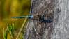 Fjelløyenstikker, Aeshna caerulea, Kemi, Finland, hann, Azure hawker