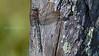Fjelløyenstikker, Aeshna caerulea, Kemi, Finland, hann, Azure hawker male