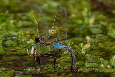 Emperor Dragonfly; Anax imperator; kreta; crete