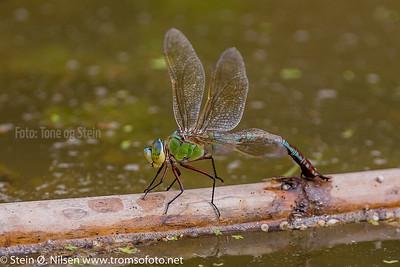 Emperor Dragonfly, Anax imperator, Crete, Kreta