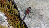 LITEN TORVLIBELLE, Trondjord, Tromsø, Small Whiteface, Leucorrhinia dubia