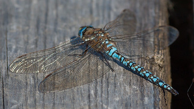 Dragonflies of Europe