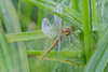 Sørlig høstlibelle; Sympetrum vulgatum; ALHAGEN; dragonfly; NYNÄSHAMN; odonata; SVERIGE; trollsländor; VÅTMARK; øyenstikker