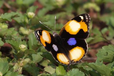 Butterflies of Africa