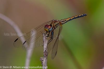 Trithemis arteriosa, Gauteng, South Africa