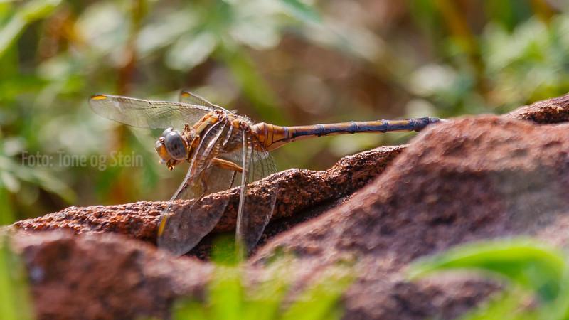 Orthetrum machadoi dragonfly; gauteng; johannesburg; south africa;