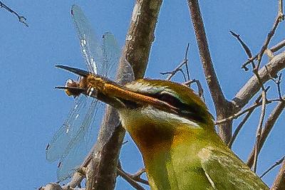 Pantala flavescens female, Usambara foothills, Tanzania