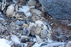 Antarctic petrel chicks, dried carcasses are windblown and gathered in heaps where they mumify in heaps.<br /> Svarthamaren, Antarctica