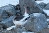 Antarktispetrell, ANTARCTIC PETREL, SVARTHAMAREN, ANTARCTICA, ANTARKTIS