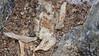 Snow Petrel chick freeze dried Dronning Maud Land Antarctica