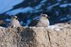South Polar Skua, Svarthamaren, Antarctica, sørjo
