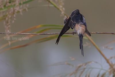 Amursvale, red-rumped swallow (Cecropis daurica), Tarifa, Spain