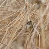 Cistussanger, cisticola, tarifa, Spain