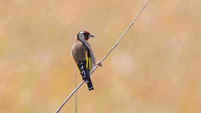 Stillits, Goldfinch,  Tarifa, Spain