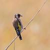 Stillits, Goldfinch,  Tarifa, Spain
