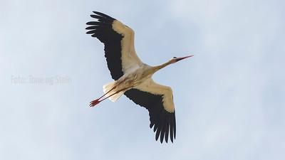 Stork,  tarifa, Spain