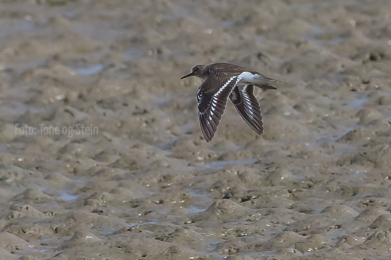 STRANDSNIPE, Common sandpiper, Spain