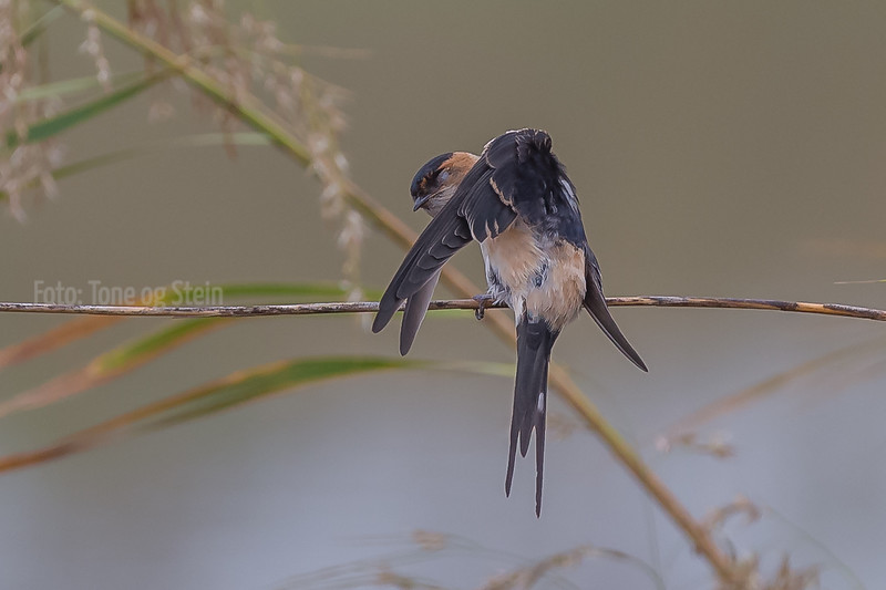 Amursvale, red-rumped swallow (Cecropis daurica), Tarifa, Spain