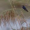 Låvesvale, Barn swallow, Tarifa, Spain