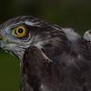 SPURVEHAUK Sparrowhawk Troms Norway