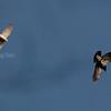 SPURVEHAUK, Eurasian Sparrowhawk