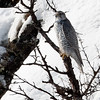 JAKTFALK, Gyr falcon, Troms, NORWAY